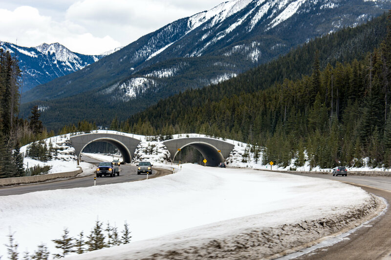 In Banff, animals can use overpasses that are designed to mimic the landscape.