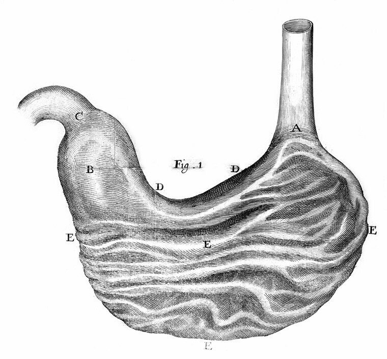 A 17th-century illustration of a human stomach.