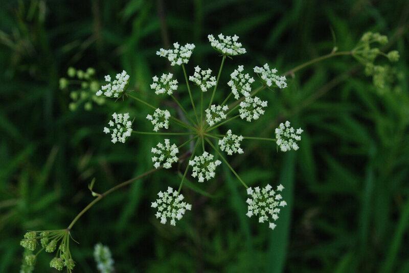 <em>Cicuta maculata</em> at the Kickapoo Valley Reserve, Wisconsin.