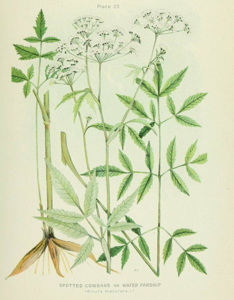 An illustration of spotted water hemlock, from <em>Farm Weeds of Canada</em>, 1906.