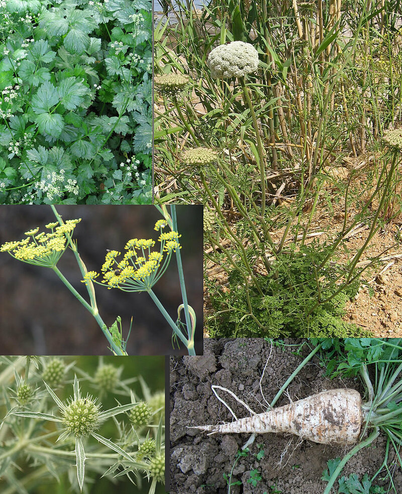 From the <em>Apiaceae</em> family, from top left: celery leaves; wild carrot; root parsley; sea holly; fennel flowers.