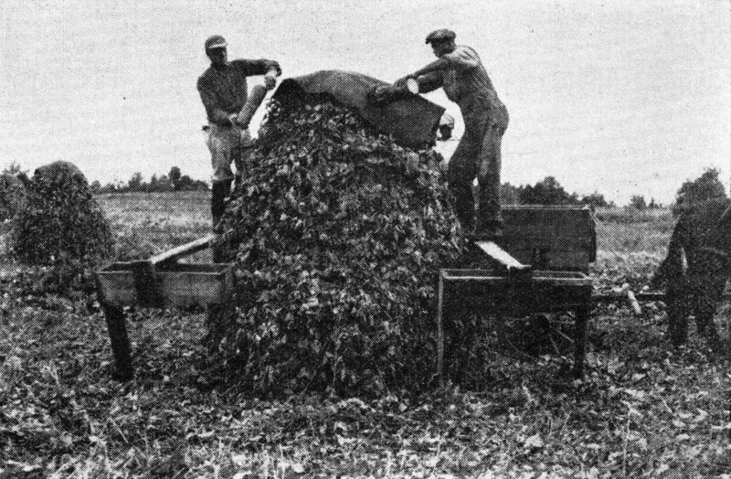 1920s farmers cover a shock of kudzu with a waterproof cap to protect it from rain.