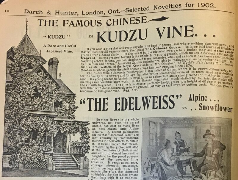 An advertisement for kudzu in an Ontario seed catalog. Similar ads ran in American catalogs.