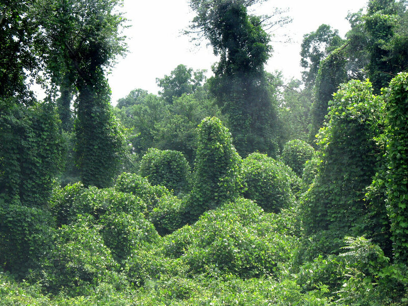 About seven decades after the North Carolina poetry contest extolling its virtues, kudzu overtakes a North Carolina forest.