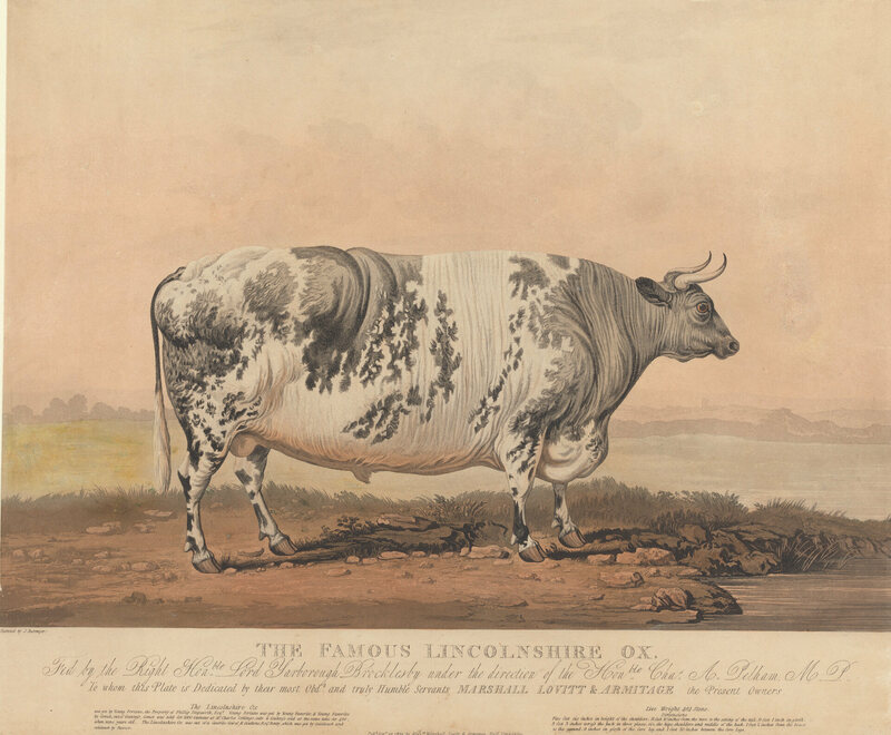 """""""The Famous Lincolnshire Ox, Fed by the Right Honorable Lord Yarborough Brocklesby."""""""