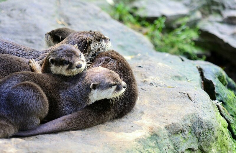 """Otters are social animals that live in communities, called """"rafts."""""""