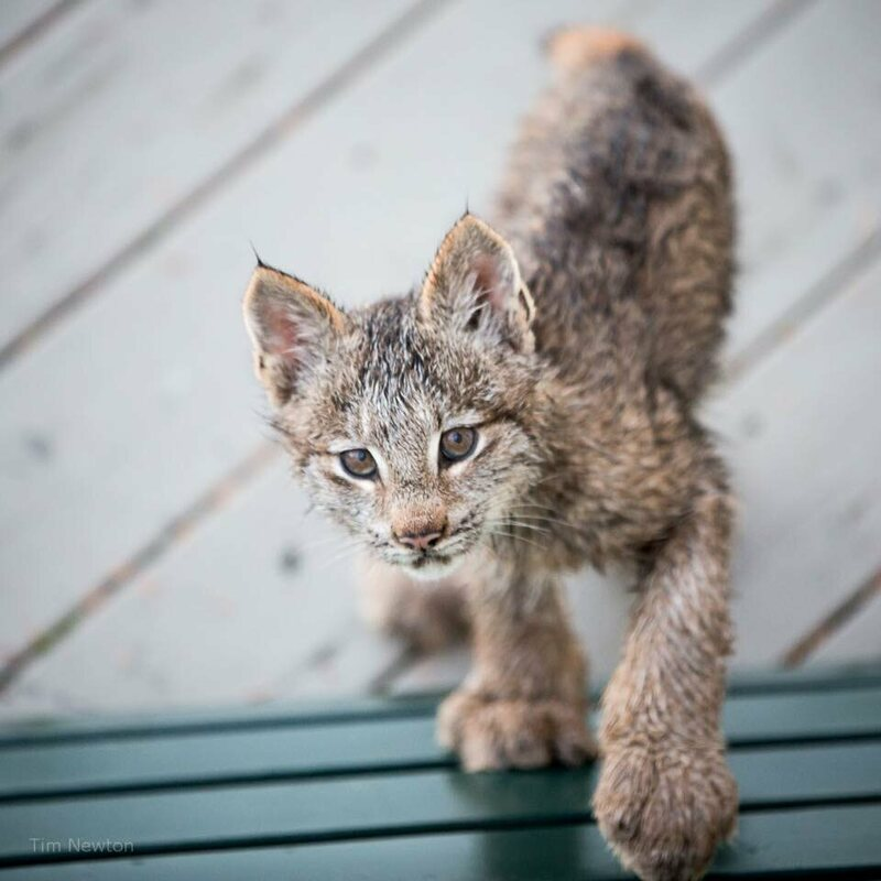 One of the lynx kittens on photographer Tim Newton's deck.