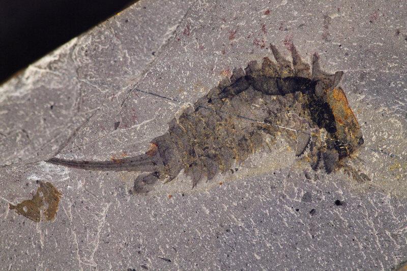 Fossil of <em>Habelia optata</em>.