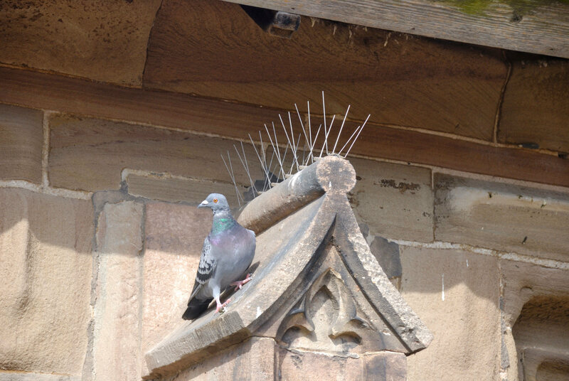 A pigeon avoids spikes at Hereford Cathedral in England.