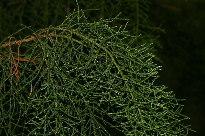 A specimen of Huon pine from a botanical garden.