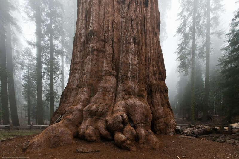 General Sherman is not only very old but also very large.