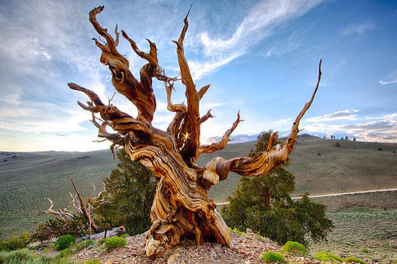 A bristlecone pine nearby.