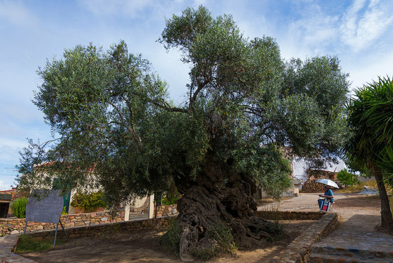A very old olive tree.