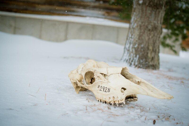 Researchers studied 662 craniums.