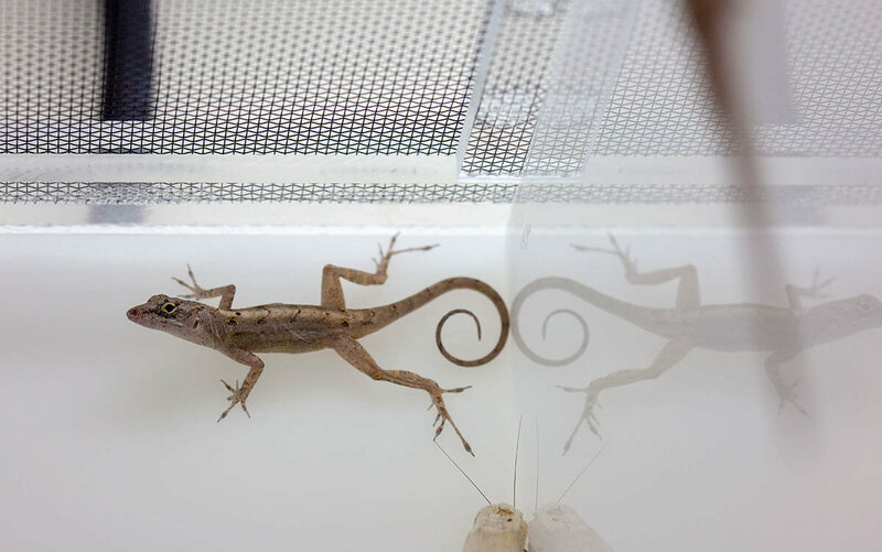 A female brown anole, or <em>Anolis sagrei</em>, clings effortlessly to the back wall of her tank.