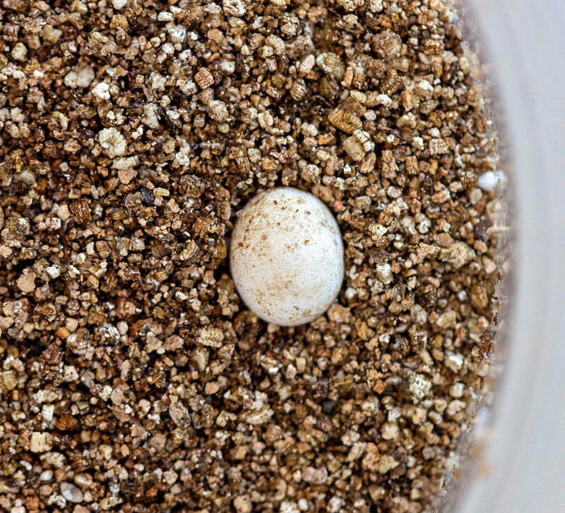 An anole egg, laid by a female in the colony.