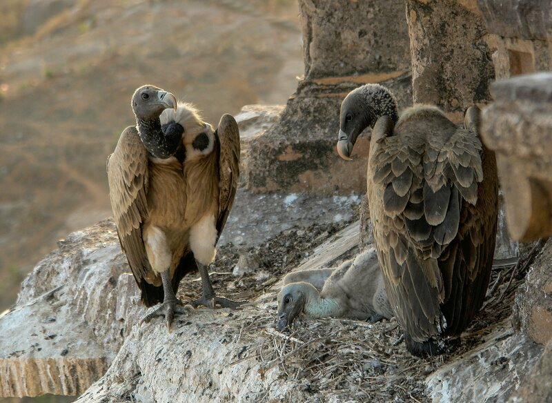 Vultures in a nest on the tower of the Chaturbhuj Temple in Madhya Pradesh, India.