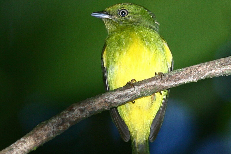 The golden-crowned manakin is the only known hybrid species in the Amazon.