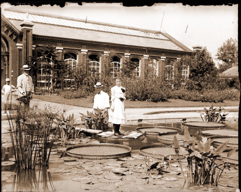 A woman stands on top of a <em>Victoria cruziana</em> pad in the lily pond in the Missouri Botanical Gardens in 1902. A wooden sheet helps to distribute her weight and prevent the leaf from ripping.
