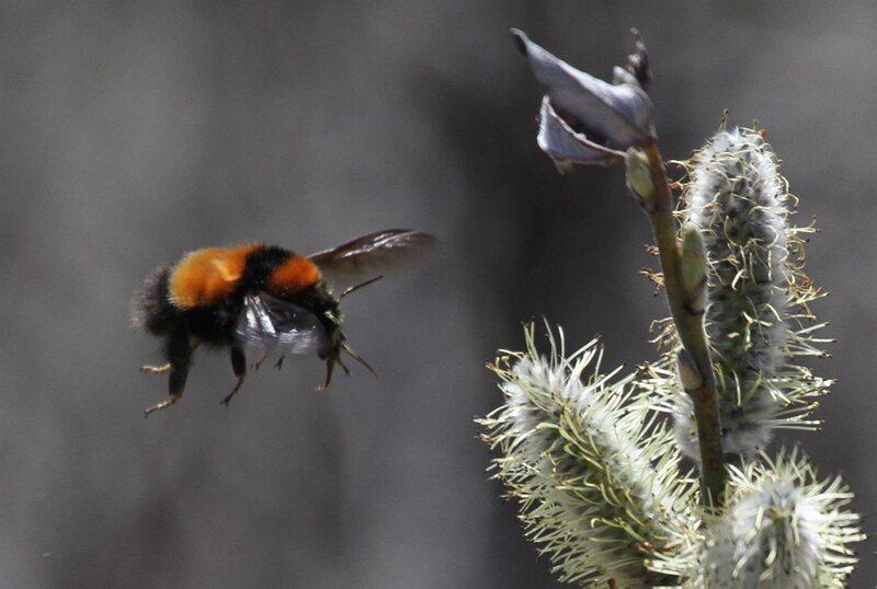 <em>B. hyperboreus</em> in flight.