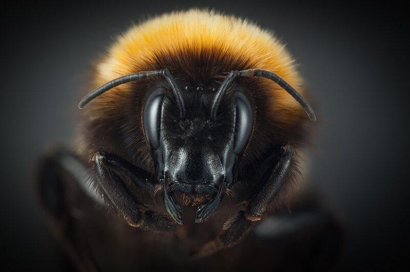 <em>B. hyperboreus</em>, the Arctic rival of <em>B. polaris</em>.