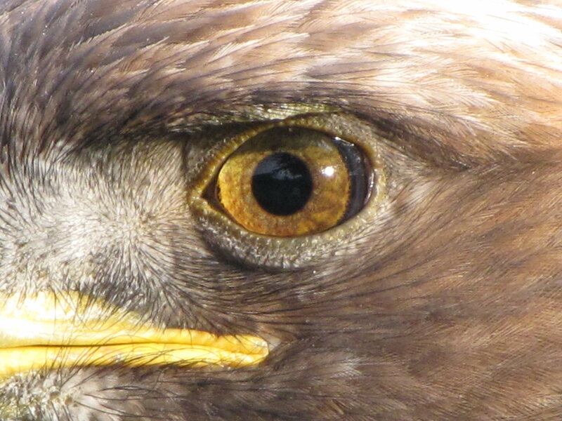 A modern eagle's eye is four to eight times stronger than that of the average human's.