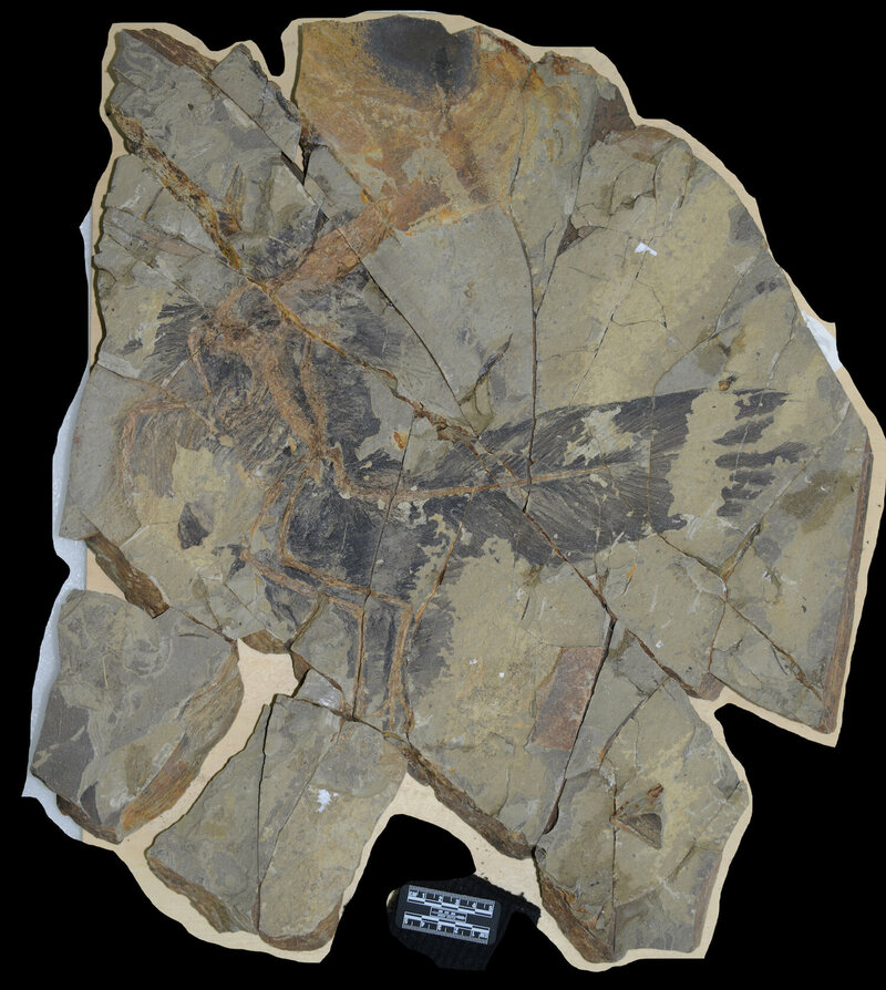 By examining the fossilized feathers under a microscope, researchers detected structures that hint at possible colors.