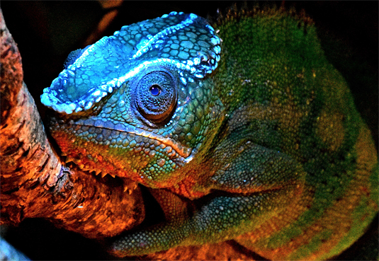 Scientists have made a surprising new discovery about chameleons