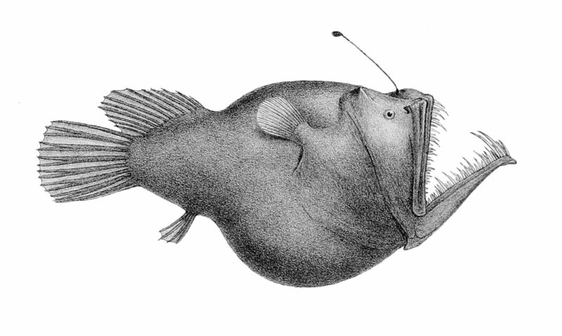 A 19th-century drawing of the anglerfish species <em>Melanocetus murrayi</em>.