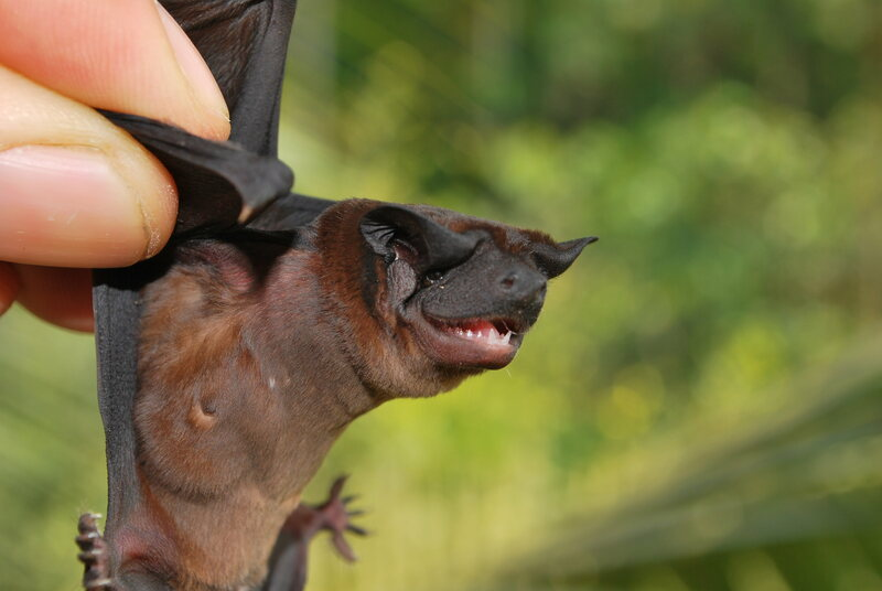 Meet the newly identified Waorani dog-faced bat.