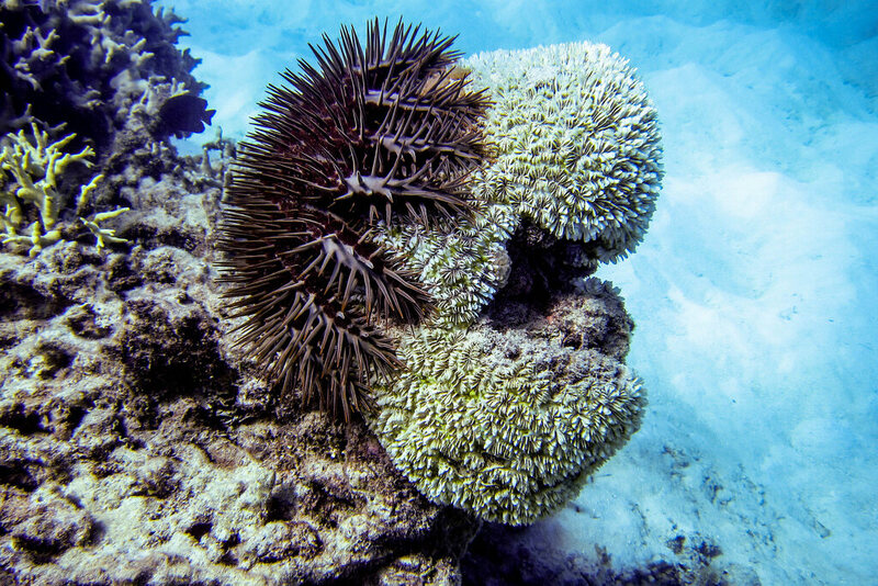 A crown-of-thorns starfish feeds on some coral.