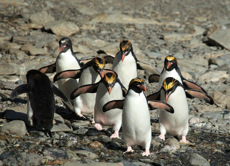 Macaroni penguins—the most excretory of all seabirds—strut their stuff.