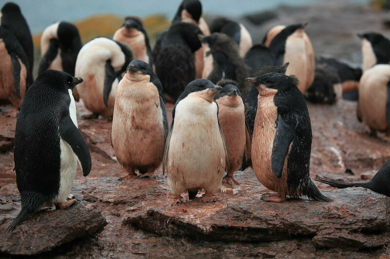 Adélie Penguins getting mucky. Penguins produce the most poop of any seabird order.