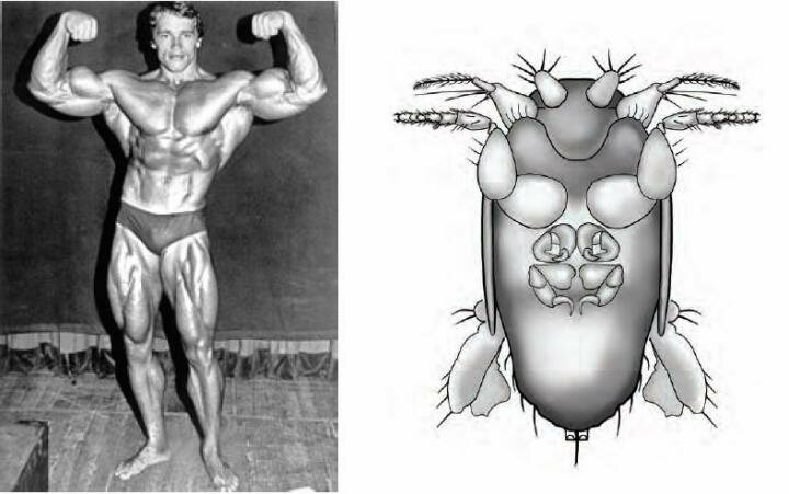 After spotting the fly's disproportionately hulking front legs, Brown christened it after Arnold Schwarzenegger.