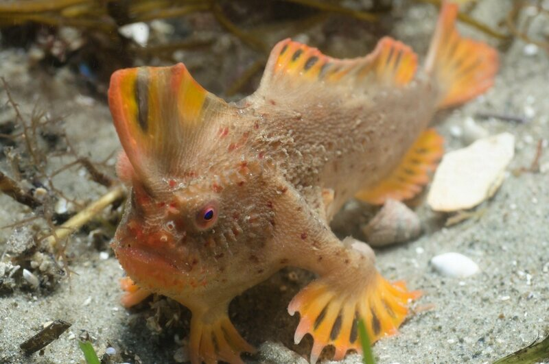 The red handfish uses its fins to walk across coral reefs.