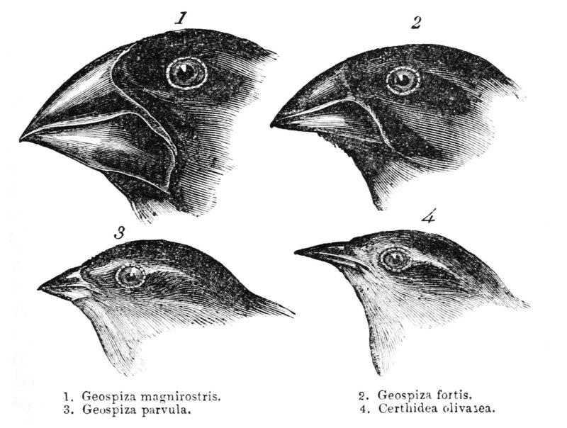 Darwin's finches are a classic case study in evolution.