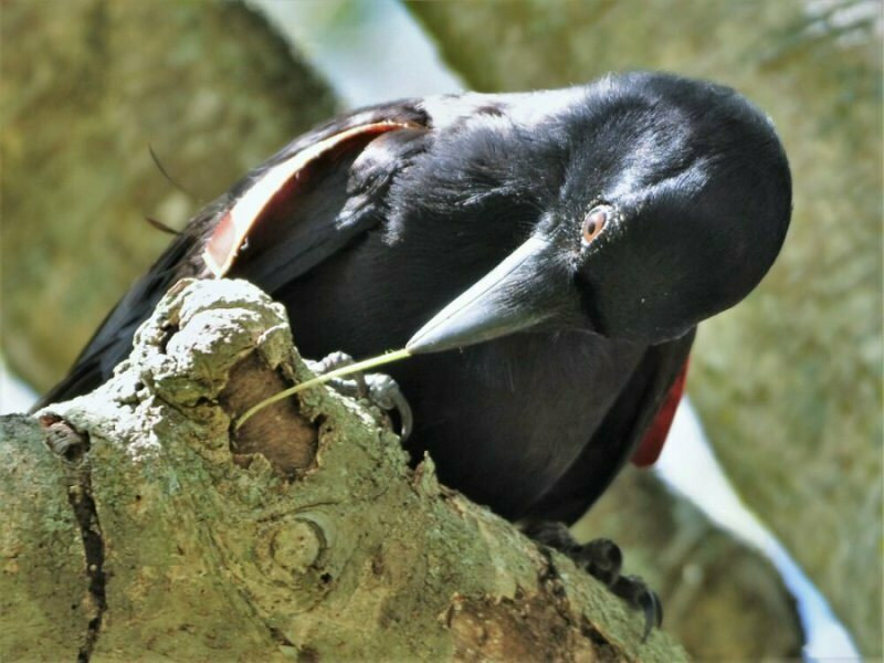 New Caledonian crows extract food fastest when they've got tools in hand (er, beak).