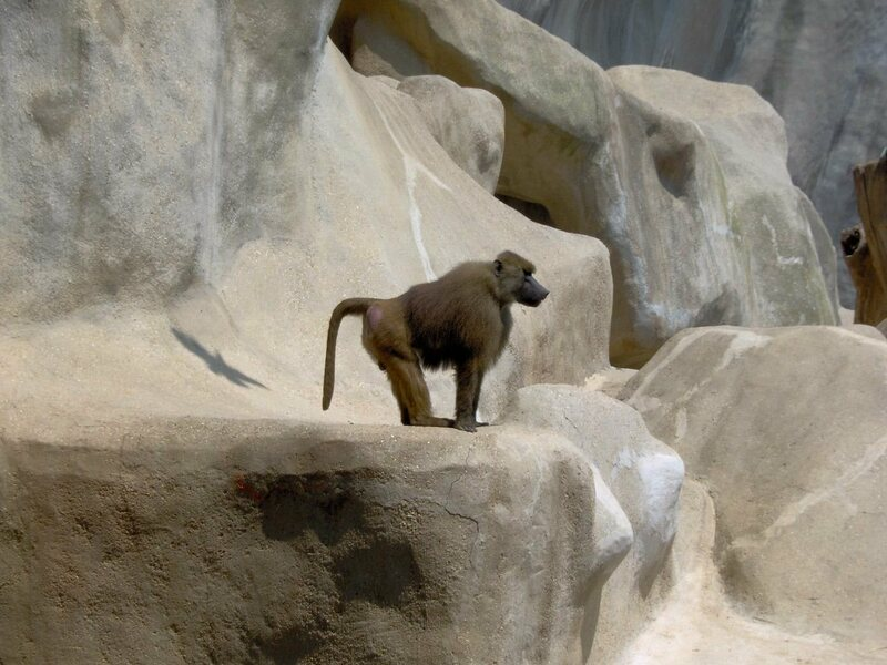 A Guinea baboon in the Paris zoo.