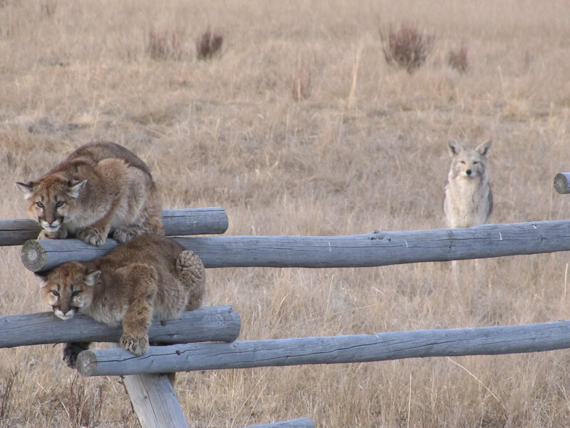 Two (western) cougar cubs face off with a coyote, a species often mistaken for them.