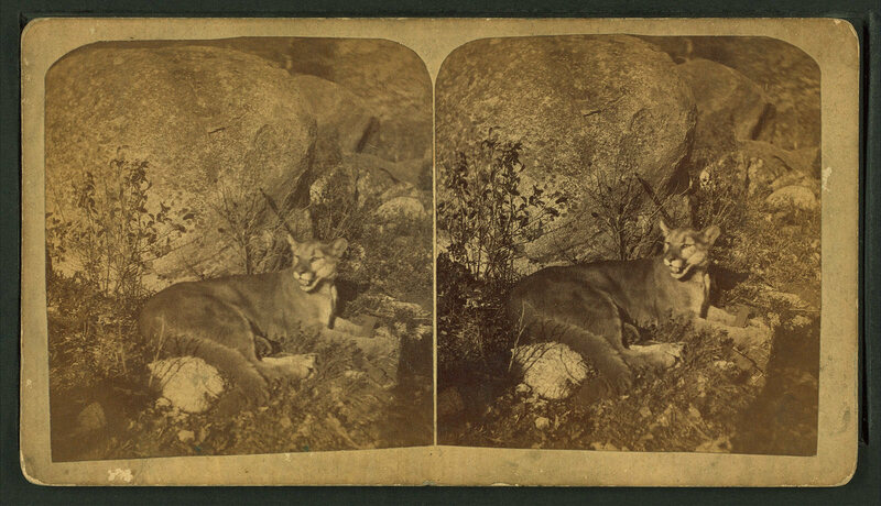 A cougar photographed in the 19th century, before its range drastically shrunk.