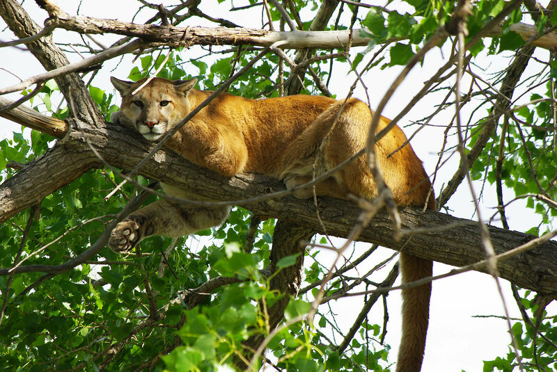 A cougar hangs out in a tree in Colorado.