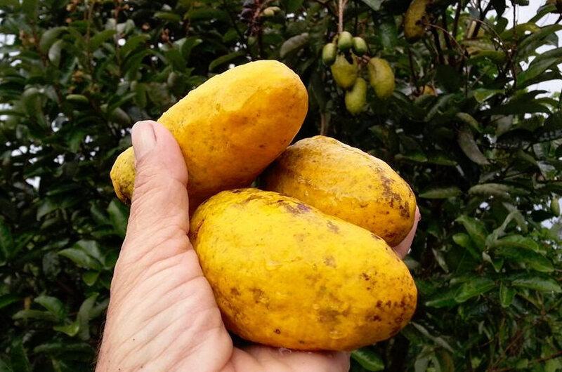 Olosapo fruits in Costa Rica.