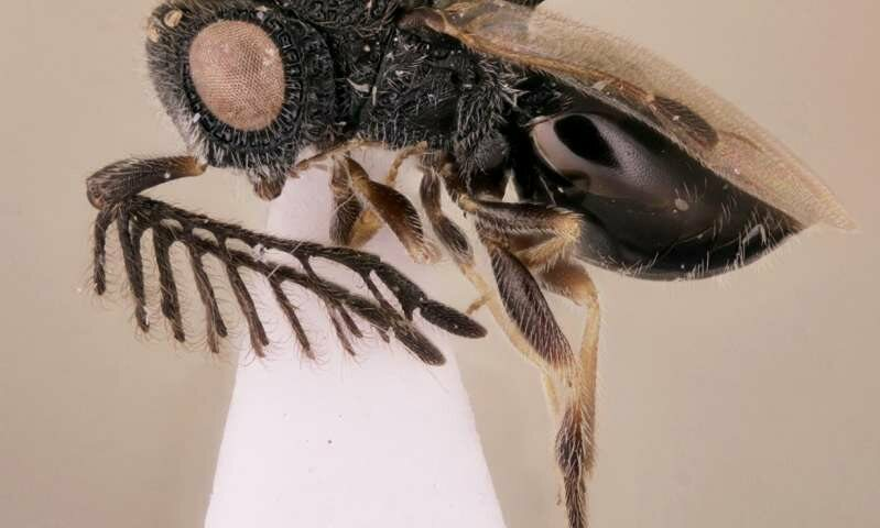 The Killer Wasp That Saws Its Way Out of Its Victims