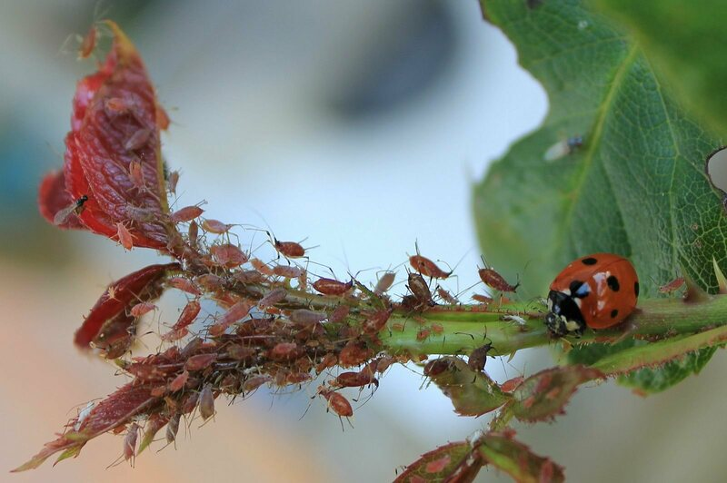 A ladybug goes after some aphids.