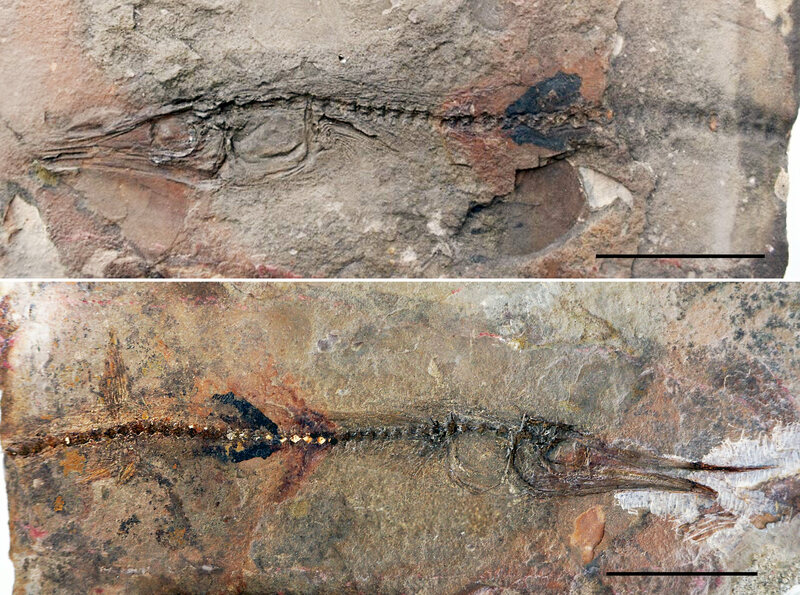 The two sides of a 90-million-year-old fossilized fish found in the flagstones at a Colombian monastery.