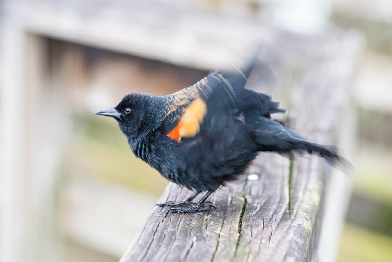The red-winged blackbird doesn't peck.