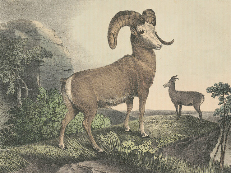 A bighorn, one of the many species named by Lewis and Clark.