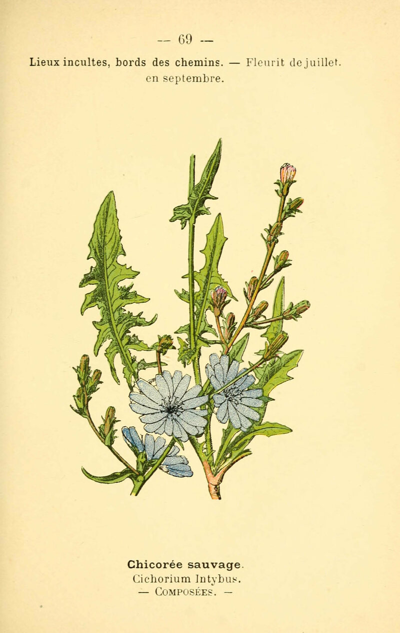 Chicory root as a substitute for coffee