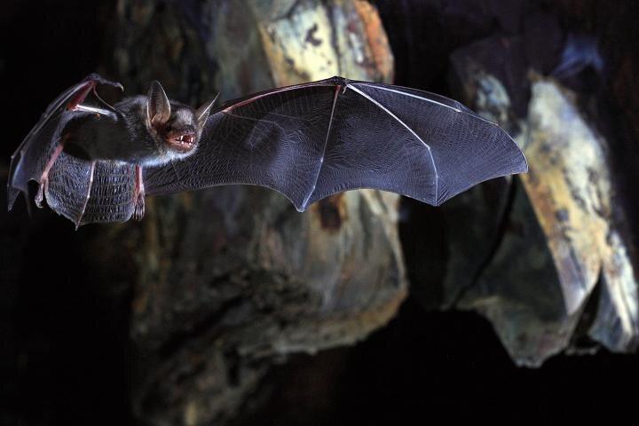 In Myotis bats, telomeres don't shorten with age.