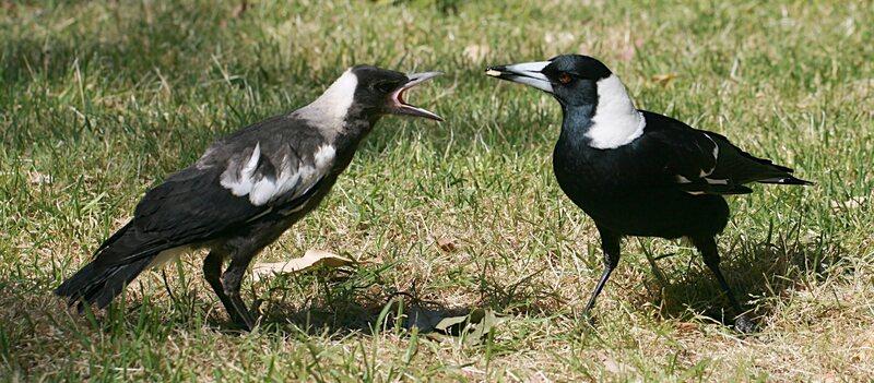 Two joyful Australian magpies share a treat.